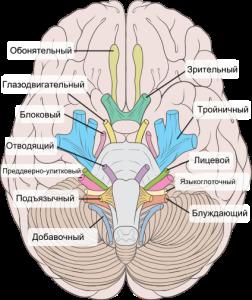 cranialnerves