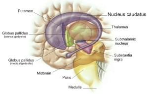nucleus_caudatus