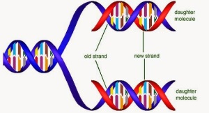 Dna-Replication-Semiconservative